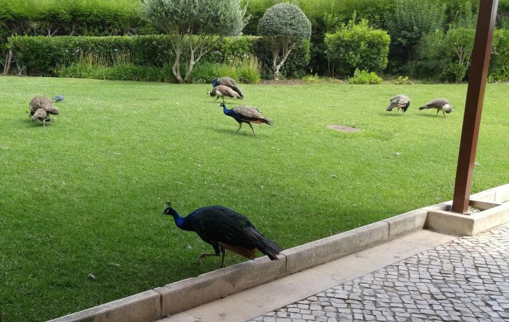 more peacocks